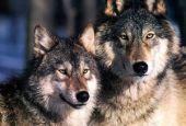 Mala tempora currunt per lupi e cinghiali