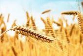 Agricoltori sull'A1 per dare l'addio al grano italiano