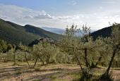 """Gli olivi da Assisi a Spoleto """"bollati"""" FAO"""