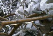Sotto osservazione i danni del gelo sugli olivi