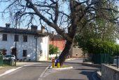Quella quercia in mezzo alla strada… è morta