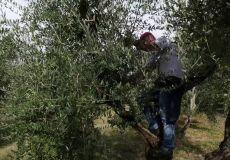 Mosca delle olive: cresce in Umbria la preoccupazione