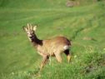 Domenica inizia la caccia al capriolo
