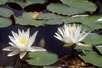 Bianche ninfee a far da compagnia a tremila tartarughe for Lago per tartarughe