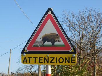 Cinghiali in Umbria: presenza insostenibile