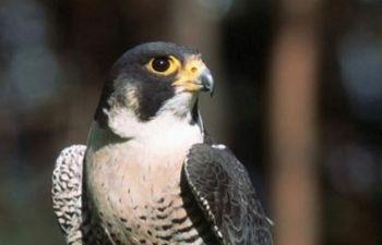 """Un falco pellegrino """"turista"""" per caso a Todi"""