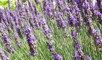Agricoltura: nuove disposizioni su Agea e piante officinali