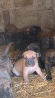 Bellissimi cuccioli cane Corso