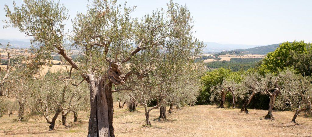 Oliveto 1(1)