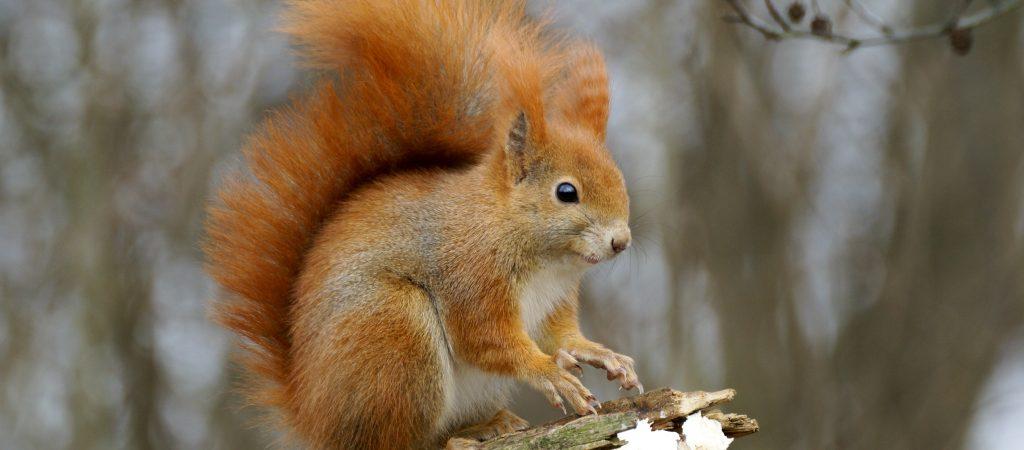scoiattolorosso2