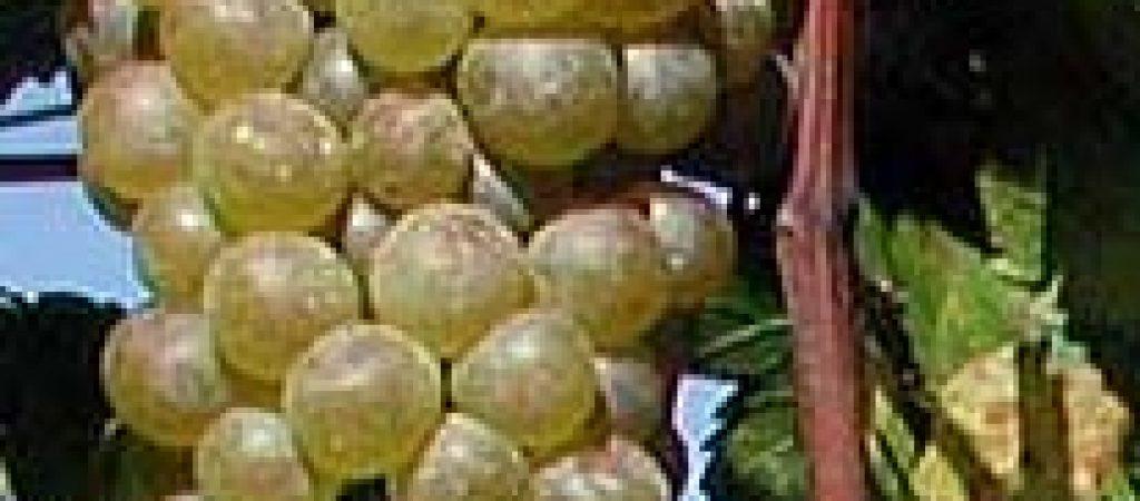 vino-bianco-orvieto1